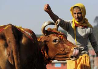 A young Hindu priest performs worship rituals on a cow during Tihar festival in Kathmandu, Nepal, Sunday, Oct. 30, 2016.Cows are considered sacred to Hindus and are worshipped during Tihar festival, one of the most important Hindu festivals dedicated to the Goddess of wealth Laxmi.