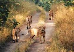17 Gir lions held as suspects for murders, three sentenced- India Tv