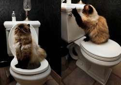cats can be trained to use the toilet