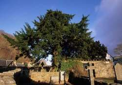 oldest tree in britain is undergoing a sex change
