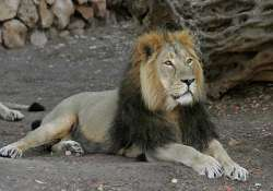 92 asiatic lions died in gujarat in last two years