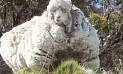 Sheep with famously large fleece dies in Australia