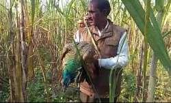 Peacocks found dead