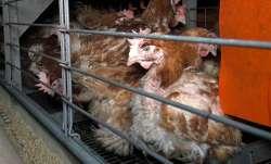 Bird flu detected in Odisha, culling ordered