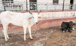 Himachal Pradesh, cow, firecracker, pregnant elephant, kerala