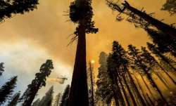 California wildfire, wildfire, thousands trees, trees to be removed, latest international news updat